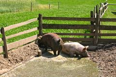 Two dirty pigs playing in mud stock photos