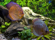 Two discus in the aquarium Stock Photos