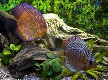 Two discus in the aquarium stock photos