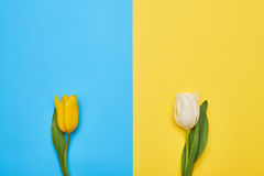 Two distant spring tulips on a blue and yellow b Royalty Free Stock Photography