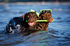 Two diver dogs Royalty Free Stock Photography