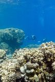 Two divers above coral reef at the bottom of tropical sea on blue water background Royalty Free Stock Photo