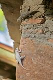 Two Diverse Lizards of the same Species Show Different Pigmentation Stock Image