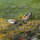 Two diving ducks. Pair of wild male ducks while diving in the a clear river water for eating Royalty Free Stock Photography