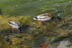 Two diving ducks. Pair of wild male ducks while diving in the a clear river water for eating Royalty Free Stock Photos