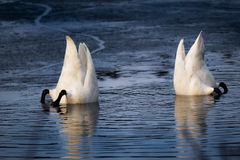 Two diving swans. Two swans searching for food, white tails and black feet shown Royalty Free Stock Photos