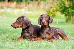 Two doberman puppys Royalty Free Stock Images