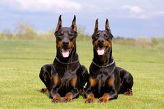Two dobermans Stock Images