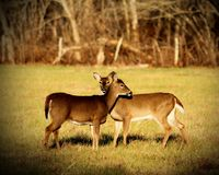 Two Doe Royalty Free Stock Photos