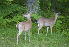 Two does. A pair of whitetail does cautiously walking into a forest royalty free stock image