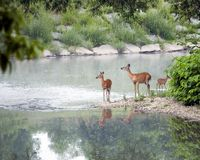 Free Two Does And A Fawn Stock Image - 9783681