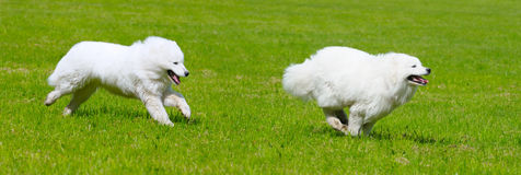 Two dog. Two samoyed dogs play in field Royalty Free Stock Image