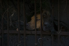 Two dog behind a fence Stock Photos