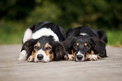 Two dog border collie portrait Stock Images