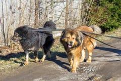 Two dog breed Tibetan Mastiff Royalty Free Stock Image