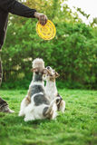 Two dog breeds Fox-Terrier. Play with plate on green lawn Royalty Free Stock Photography