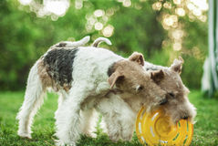 Two dog breeds Fox-Terrier Royalty Free Stock Photography