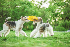 Two dog breeds Fox-Terrier Stock Photography