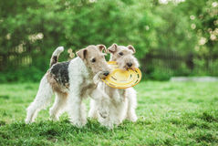 Two dog breeds Fox-Terrier. Play with plate on green lawn Royalty Free Stock Photo