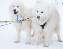 Two dog breeds Samoyed husky in the winter forest.  Stock Image