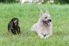 Two dog dachshund in park on grass summer stock images