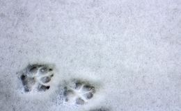 Two dog footprints in the snow royalty free stock images