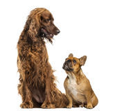 Two dog Royalty Free Stock Photo