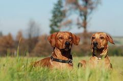 Two dog friends. Two rhodesian ridgebacks lying in the grass Royalty Free Stock Photography