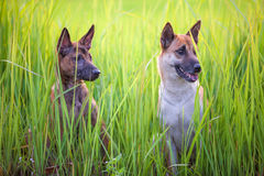 Two dog Stock Photography