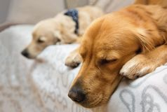 Two dog lying on the bed Stock Photos