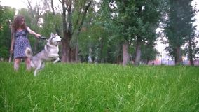 Two dog playing outdoors with his owner - pregnant woman - irish setter and husky, slow motion. Shot stock video