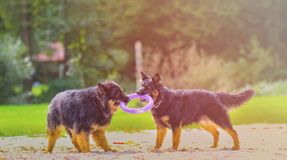 Two dog are playing with purple ring toy. The breed is Bohemian Shepherd. They are playing on the beach in the park. There is colorful sunset adorable adult stock images