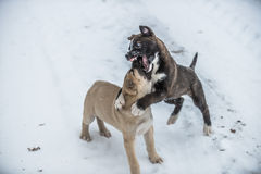 Two dog puppies playing and fighting in snow