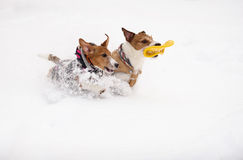Two dog running and playing together with toy on white snow Stock Images