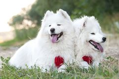 Two dog Siberian samoyed husky in park on grass summer stock photography