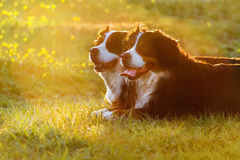 Two dog at sunset Royalty Free Stock Images