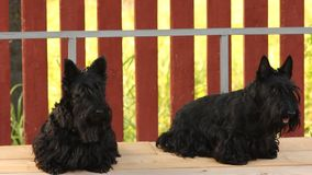 Two dog on a swing. Two dog breed Scottish Terrier on a swing stock footage
