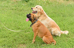 Two dog in training Royalty Free Stock Images
