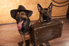 Two dog travelers with casees Royalty Free Stock Photos