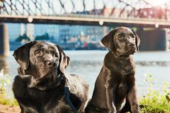 Two dog on the walk Royalty Free Stock Photography