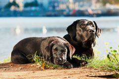 Two dog on the walk Royalty Free Stock Images