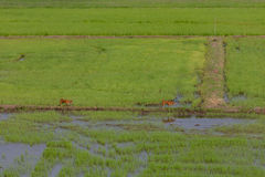 Two Dog Walking In The Rice Field, Countryside. Two Dog Walking In The Rice Field, Countryside Of Thailand Royalty Free Stock Photos