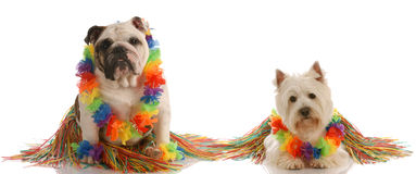 Two dog wearing hula costumes Royalty Free Stock Images
