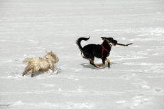 Two doggies. Two cute doggies playing and running with a stick - outdoor winter scene Stock Photos
