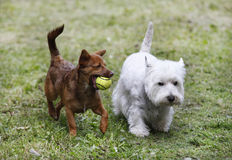 Two doggies. Two cute doggies playing with a ball - outdoor scene Stock Images