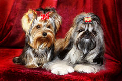 Two doggies. Royalty Free Stock Photography