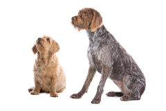 Two dogs. Isolated on white. A Welsh Springer Spaniel and a smaller dog royalty free stock images