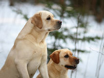 Two dogs. Royalty Free Stock Photography