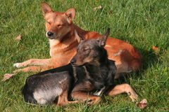 Two dogs. On green lawn Stock Photo