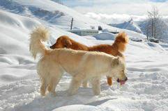 Two dogs. Playing in snow Stock Image